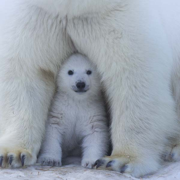 Baby polar bear safely tucked under mama bear
