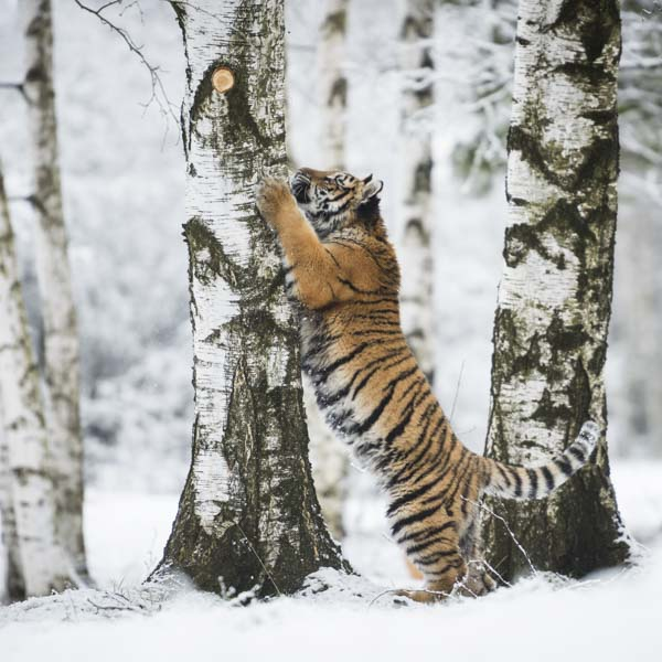 Tiger scratching tree in forest