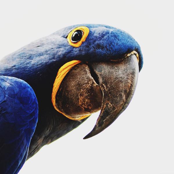 Blue macaw looking at camera