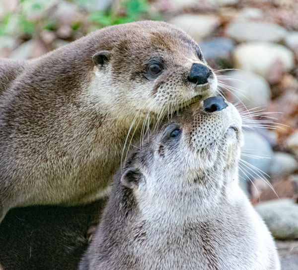 Two otters snuggling