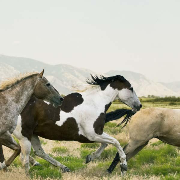 Wild horses running freely