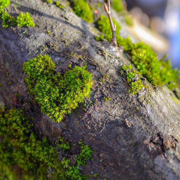 Heart shaped moss on tree