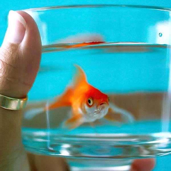 Goldfish being carried in a cup