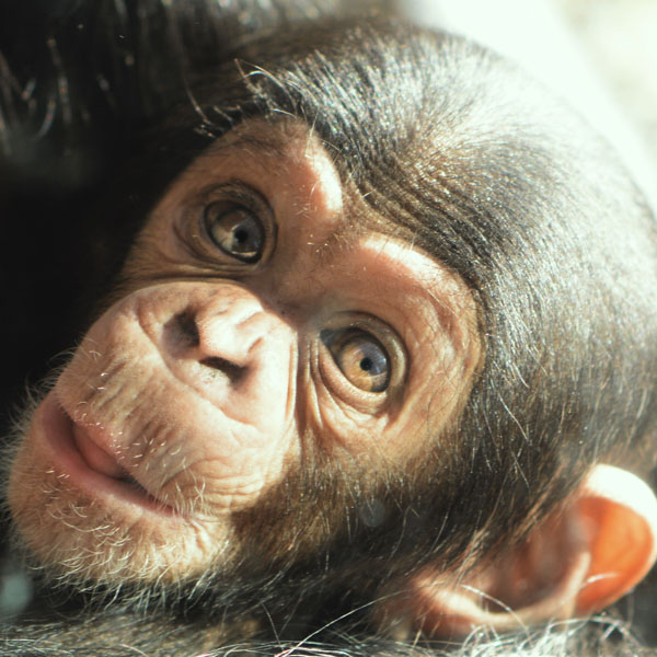 Sweet baby chimp face