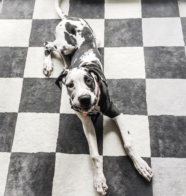Black and white great dane on checkered rug