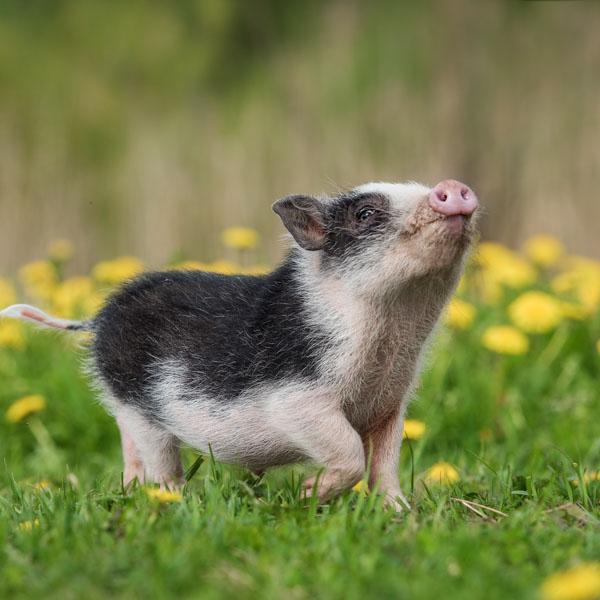 Little pig following