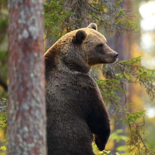 Bear scratching her back on tree bark
