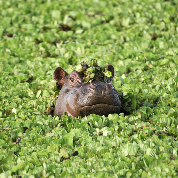 Hippo with water plants on his nose