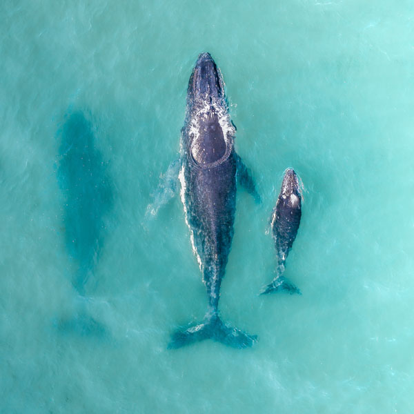 Humpback whale swimming with her calf