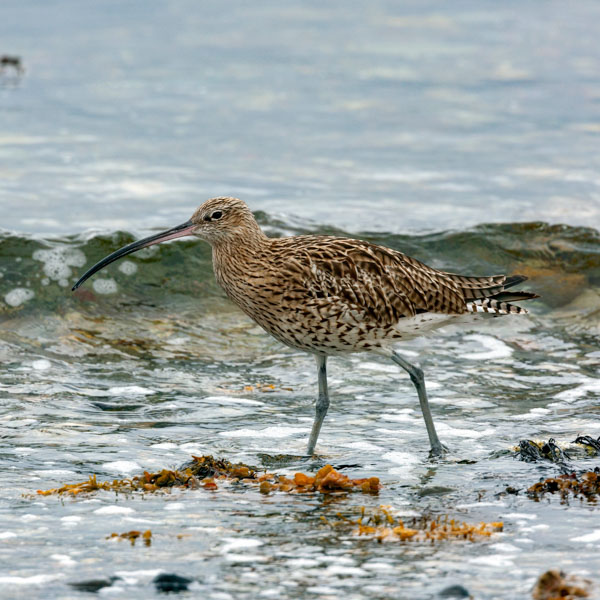 Bird walking the beach
