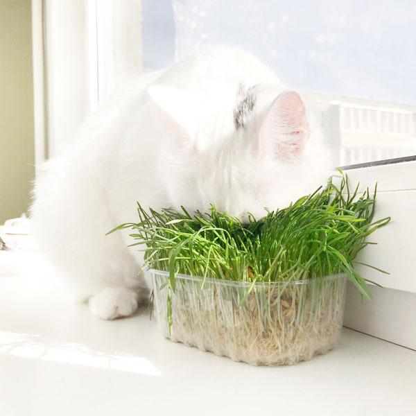 Cat eating fresh grass