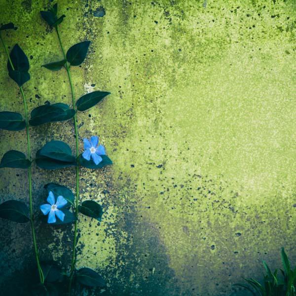 Beautiful blue climbing flowers