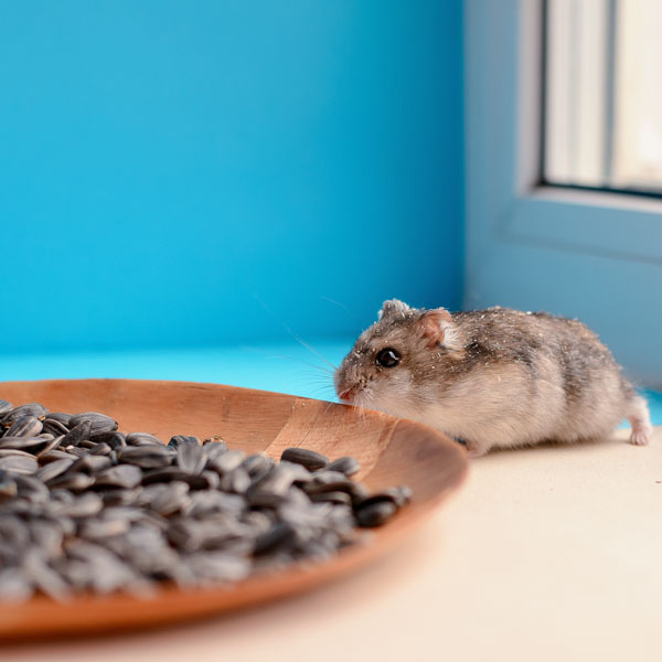 Timid mouse creeping toward seeds
