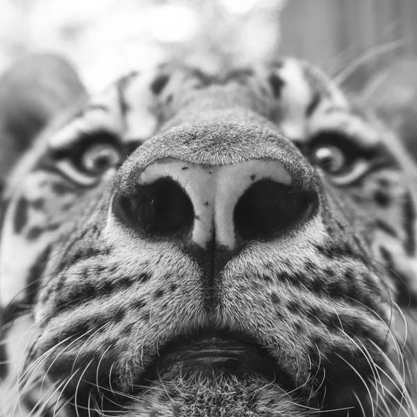 Big cat looking up