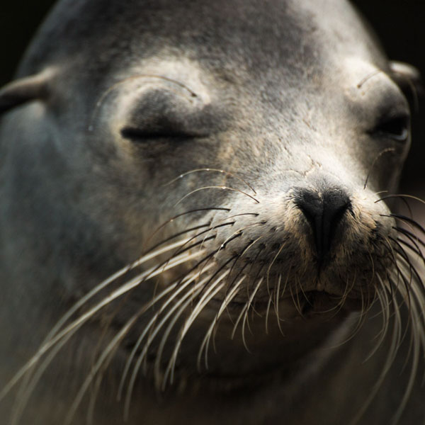 Thoughtful seal with closed eyes