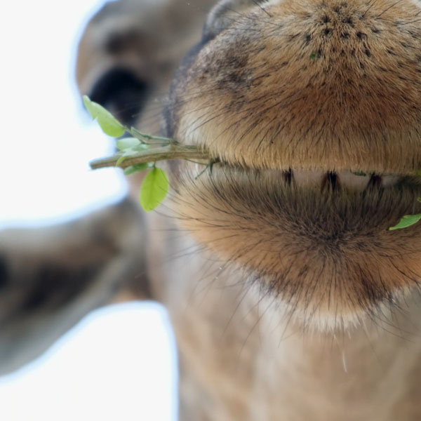 Giraffe with leaf in mouth