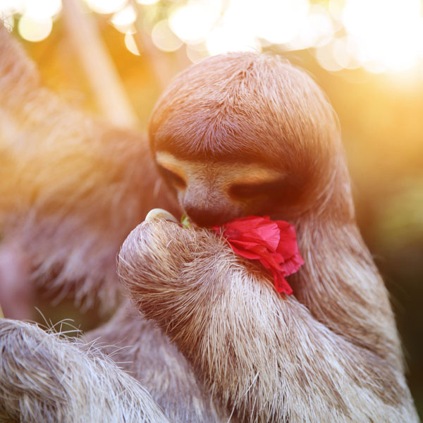 Sloth holding flower