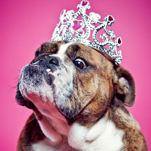 Princess bulldog