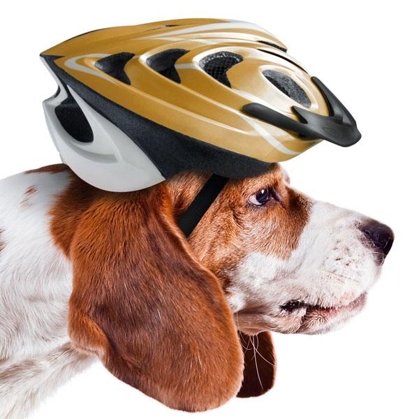 Beagle wearing bike helmet