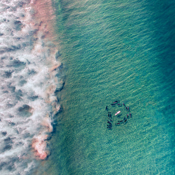 Dolphins surrounding surfer