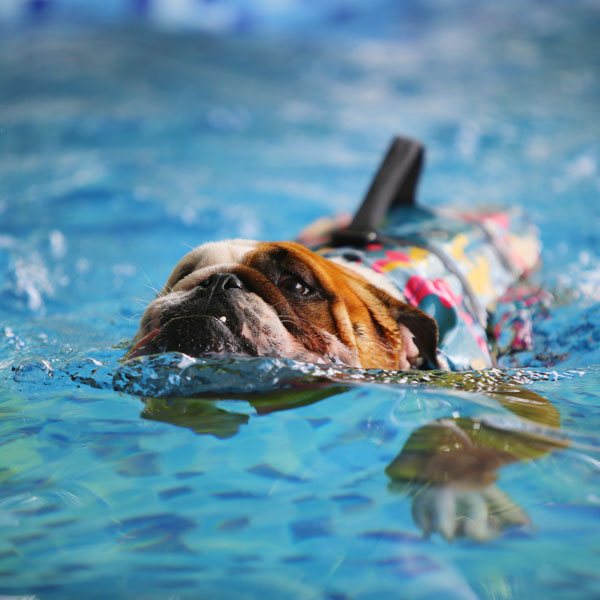 Bulldog swimming across the pool with life vest