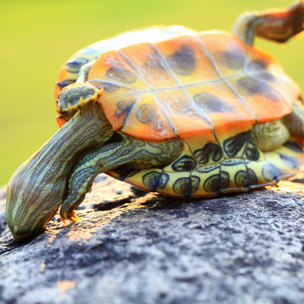 Turtle on its back