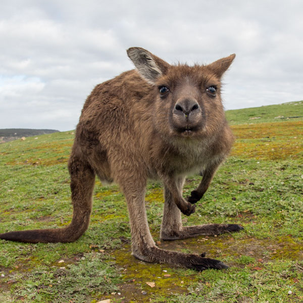 Kangaroo staring contest