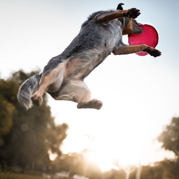 Dog leaping for Frisbee