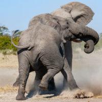 Two elephants wrestling